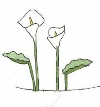 arum lily -- for Clip Clop's birthday calendar