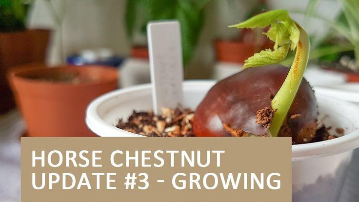 Horse Chestnuts Growing | Wild Chestnut Update #3 - 13.04.2017