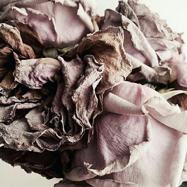 Dry roses stillife photo