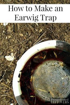 How to Make a Homemade Earwig Trap - Tutorial for a quick and easy homemade earwig trap made with oil and soy sauce to protect your garden.