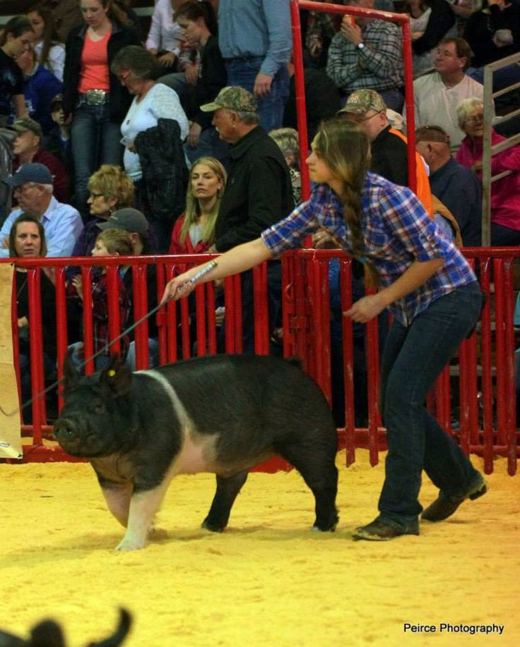 My beautiful daughter showing one of Brady's show pigs at San Antonio Livestock Show 2015.  Missed premium placing by one spot.  facebook.com/peirceshowpigs