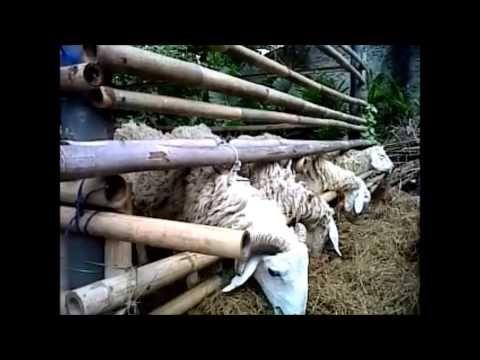 Video Ternak Kambing Tanpa Ngarit Tanpa Angon - Ternak Modern Pola HCS