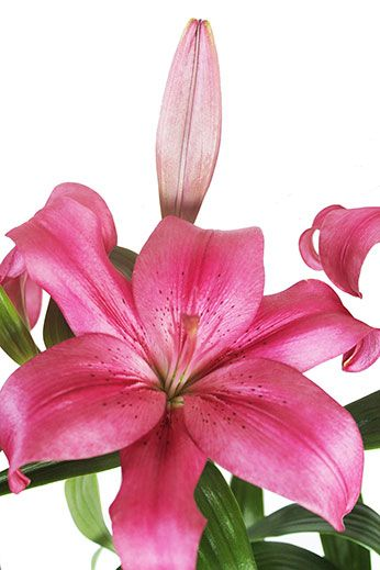 Liliesinatube provides a fantastic flower delivery service for special occasions, sent Australia-wide.