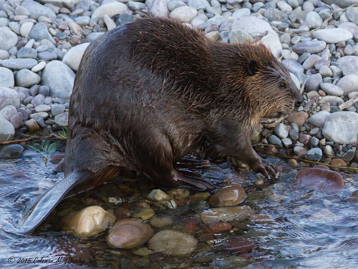 North American Beaver along shore of the Gros Ventre River in Grand Teton National Park, Wyoming.