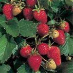 Aardbei Ostara (doordragend) - Weinig gevoelig voor ziekten en een hoge productie. Dit ras produceert middengrote aardbeien met een goede, zoete smaak.