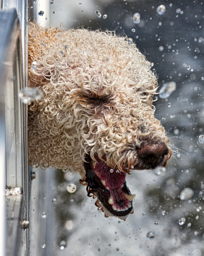 Golden Retriever / Poodle mix trying to catch water out the side of the boat.