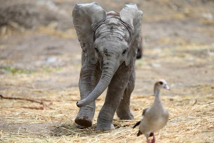 Ну, погоди! 2-месячный слоненок возомнил себя хищником и начал гоняться за птицей. (Фото Edgard Garrido)
