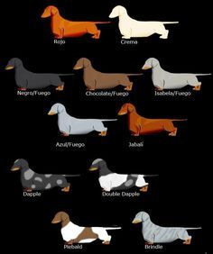 Dachshunds colors...I'll take one in every color :-) I've had a red & now a piebald :-)