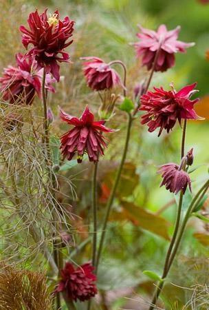 Aquilegia vulgaris 'Ruby Port'