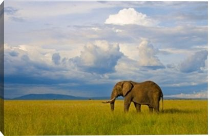 Huge male elephant in landscape, Maasai Mara National Park, Kenya print by Danita Delimont at Photos.com 173987575