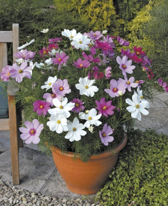 Cosmos Flowers Seeds Dwarf White Tolerates Poor Dry Soil Easy To Grow Flowers Cosmos Dry Dwarf Easy Flowers Grow Poor Garden Growing Flowers Border Plants