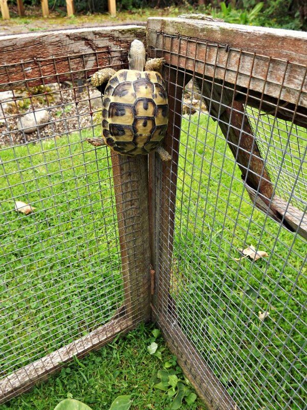 Almost free! Dang, I didn't know turtles could climb!!! ANNNNNDDD...THIS is why the tortoise beat the hare!! LOL