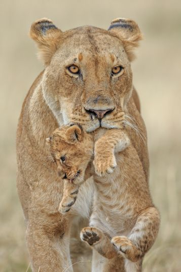 A naughty lion cub is scolded by its mother after running amok on a family outing. The mischievous cub is picked up by the scruff of the neck after bounding away from his mother and ignoring her calls in the Masai Mara National Park in Kenya