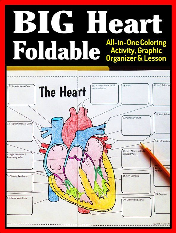 Gr.7-12 Make teaching heart anatomy fun using this big heart foldable that's great in an interactive notebook or a binder.  This is an all-in-one lesson, coloring activity and graphic organizer that will be great for review.