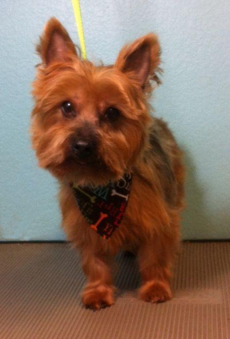 Dog ready for adoption: Yorkshire Terrier Yorkie (medium coat) named Dublin in Mc Kinney, TX