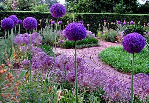 Alliums. They look like giant lollipops sprouting in the garden. I just bought some today. YAY!
