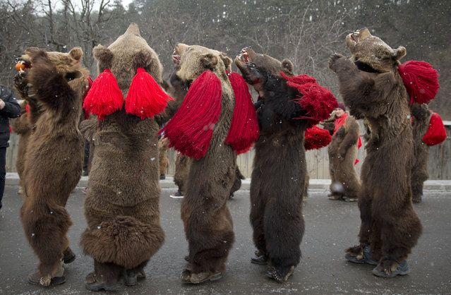 People wearing bear furs perform during a festival of New Year ritual dances attended by hundreds  northern Romania