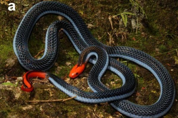 Long-glanded blue coral snake venom could inspire new pain meds - UPI.com