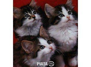 Animale de companie, Vanzari, cumparari, Vand pisicute norvegiana de padure bucuresti, imaginea 1 din 1