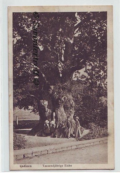Tausendjährige Eiche Cadinen bei Elbing Ostpreußen Kadyny Elbląg 1911 in Sammeln & Seltenes, Ansichtskarten, Ehemalige dt. Gebiete | eBay