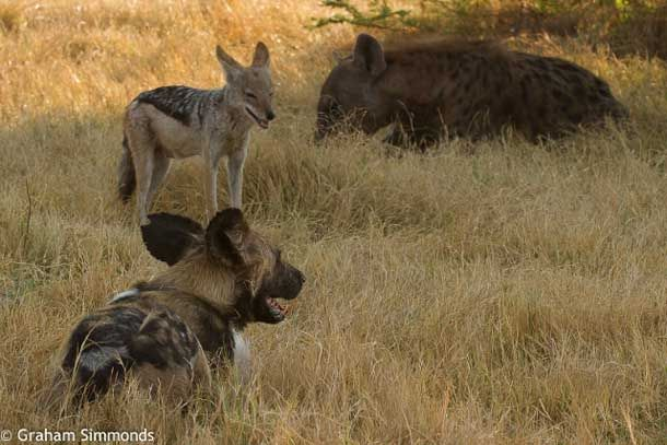 It has been more than two months without a sighting of Solo, the lone wild dog who became famous for 'befriending' jackals, protecting and feeding them at Mombo – something that guests and staff alike have been privileged to enjoy for the past four-and-a-half years.