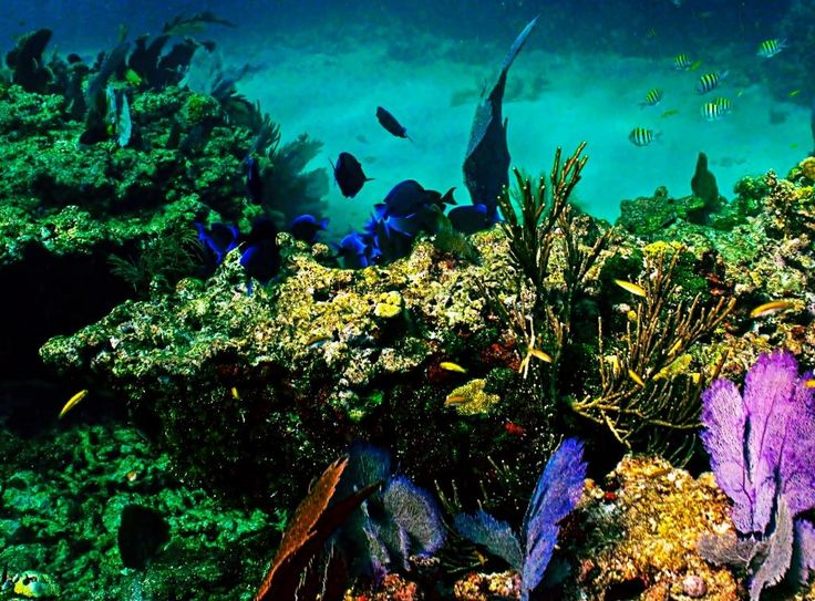 40 best florida coral reefs images on pinterest florida keys sting rays florida coral reefs sombrero reef ledge in the florida keys national marine sanctuary sciox Images
