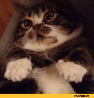 Shrek Cat Funny Gif #64510 - Funny Cat Gifs|Funny Gifs|Cat Gifs