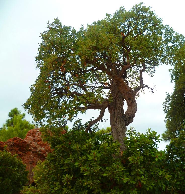 Chêne liège dans le parc de l'Esterel
