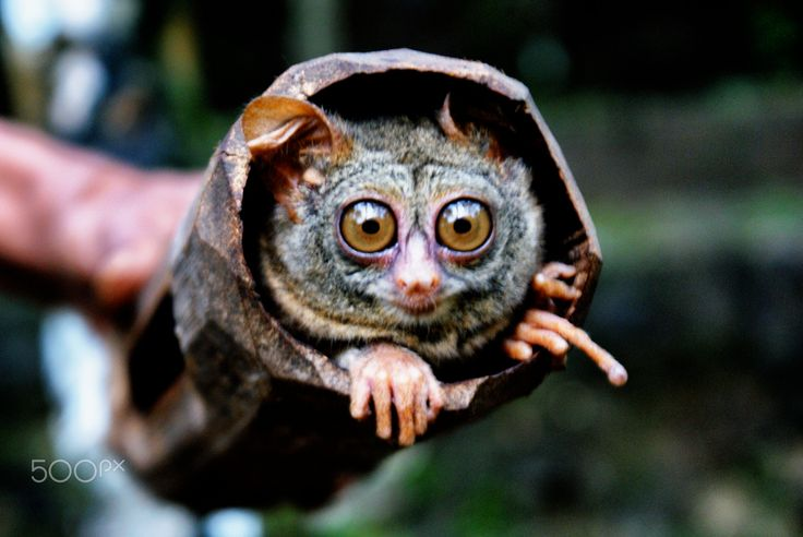 tarsier - The spectral tarsier (Tarsius spectrum also called Tarsius tarsier) is a species of tarsier found in Indonesia. It is apparently less specialized than the Philippine tarsier or Horsfield's tarsier; for example, it lacks adhesive toes. It is the type species for the Tarsius genus. While its range used to include both the population on the island of Selayar as well as on nearby southwestern Sulawesi, the latter populations has been removed to a separate species, Tarsius fuscus.  By…