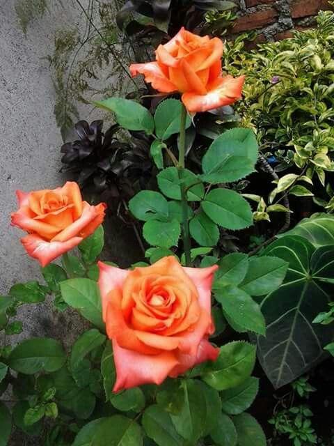 Orange mawar