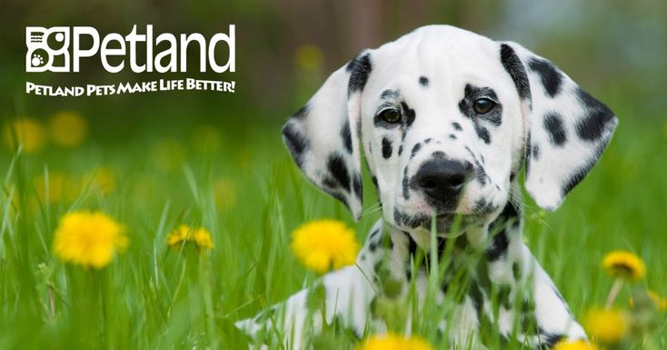 Petland Florida has Dalmatian puppies for sale! Interested in finding out more about the Dalmatian? Check out our breed information page!