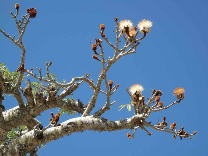 fleurs et fruits du baobab for t de r niala mangily ifaty baobab pinterest. Black Bedroom Furniture Sets. Home Design Ideas