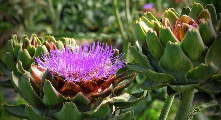 Artischocken-Blüte im Knoblauchsland