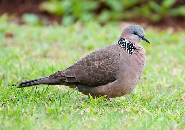 Spotted Dove | Backyard birds, Australian birds, Beautiful ...