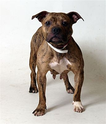 Pictures of Aimee a Pit Bull Terrier for adoption in Columbus, OH who needs a loving home.