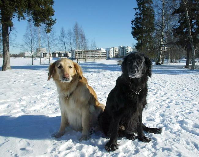 Oulun koirista ei tarvitse jatkossakaan maksaa veroa. Lue juttu ja osallistu keskusteluun klikkaamalla kuvaa.  Kuva: Tapio Maikkola