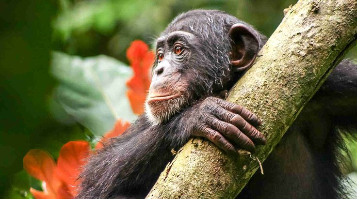 Aug 24, 2017  Great news from Africa: Liberia recently proclaimed the new Grebo-Krahn National Park for wild chimpanzees. The habitat of more than 300 of the endangered primates is now under protection. Our friends from the Wild Chimpanzee Foundation (WCF) were the driving force behind the new park, a project partly funded by your donations! The new national park comes not a minute too soon: West African chimpanzees are in acute danger of extinction.