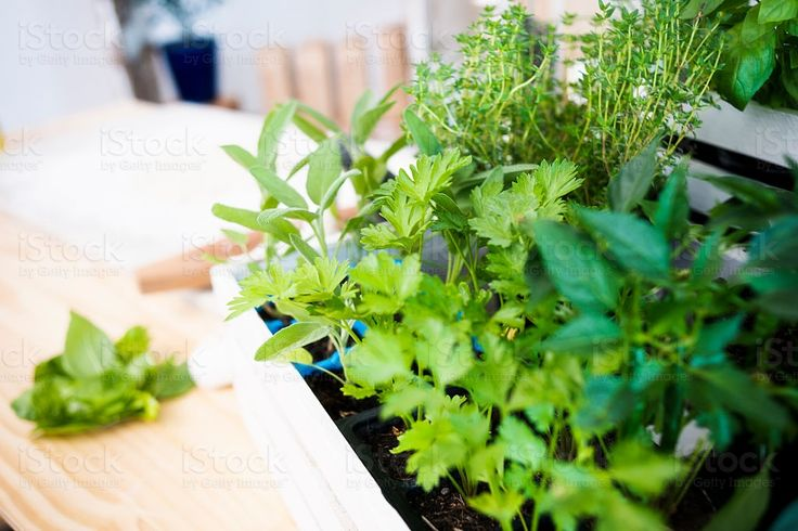 The Greenest Herbs royalty-free stock photo