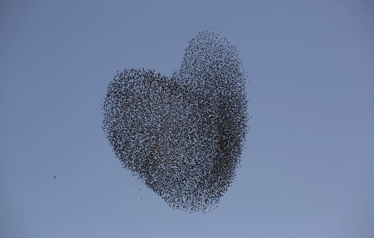 grackles and starlings flock together meet