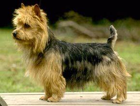 Австралийский терьер -  выведен  как  фермерская  собака.(Australian Terrier).  они, по всей видимости, не боятся ничего и никого.