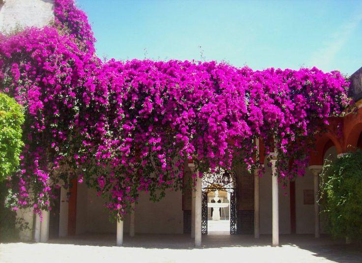 28 best vines los angeles images on pinterest gardening patio plants and climber plants - Apartamentos los angeles sevilla ...