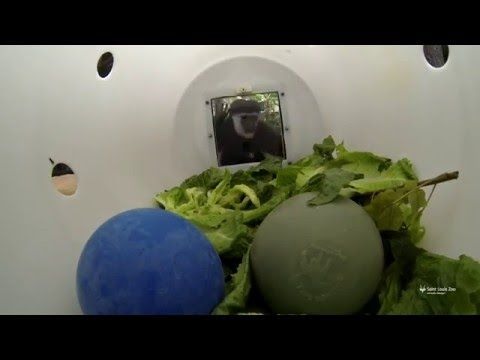 GoPro video of colobus monkeys with enrichment barrel - YouTube