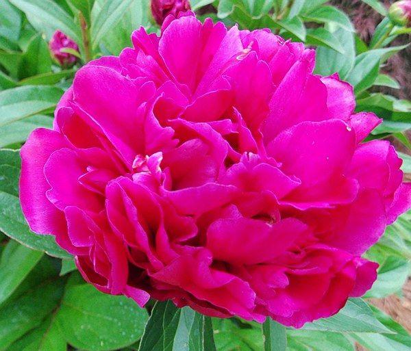 Paeonia lactiflora 'Karl Rosenfield' - Arboretum Garden Centre