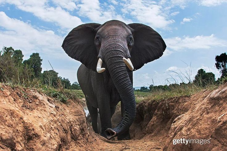 """5,018 Me gusta, 22 comentarios - Getty Images (@gettyimages) en Instagram: """"""""This picture of an #elephant is of strength and majesty. This a bull and he wanders alone, a…"""""""