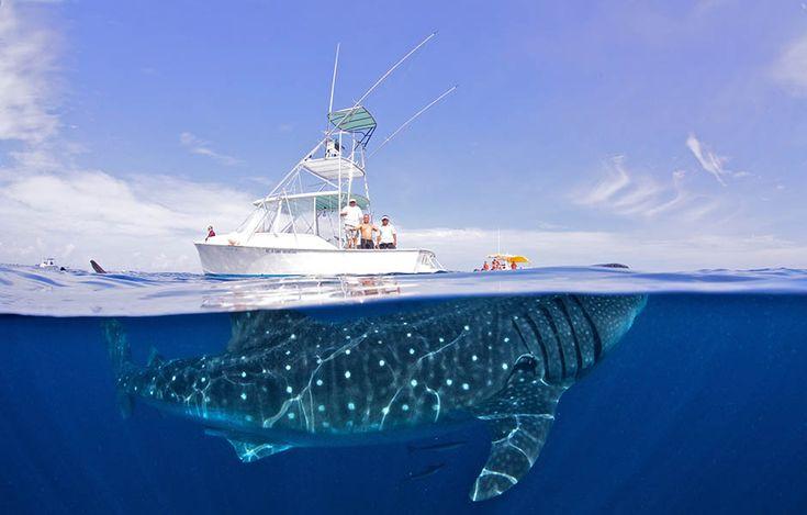 Walhaie sind friedliche Riesen, von denen Menschen eigentlich nichts zu befürchten haben. Taucher sollten wegen der Größe und Kraft der Tiere aber trotzdem einen Mindestabstand einhalten. Walhaie sind die größten Fische der Welt. Sie werden bis zu 20 Meter lang und 34 Tonnen schwer.