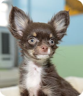 New York, NY - Chihuahua. Meet Pierre a Puppy for Adoption. he's so cute