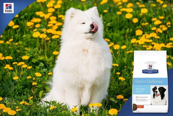 Корм Hills для собак  https://www.zooizh.ru/katalog/tovary-dlya-sobak/suhoy..  #зооград #www.zooizh.ru #товарыдлясобак #Hills  Лето – пора цветения. А цветы – это не только прекрасные бутоны и приятный аромат, но и летающая повсюду пыльца. Собакам с аллергией на компоненты окружающей среды она способна принести немало неприятностей: зуд, отеки слизистых, выделения из носа и глаз, постоянное чихание.  Заметив у своего питомца эти симптомы, нужно немедленно обратиться к ветеринарному врачу и…