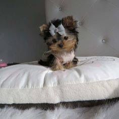 so in love with micro yorkies I could cry!