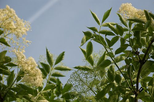 Op dit eigenste ogenblik staan de vlieren in bloem. De moment om er iets lekkers mee te doen. Gisteren gelezen bij AnneTanne, kruidendame par excellence: haar vlier-recepten. En er staat er toch we...