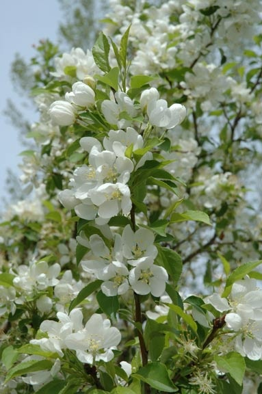 Spring - snow crabapple tree flowers